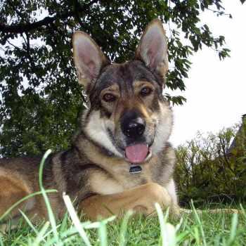 German Shepherd Wolf Hybrid