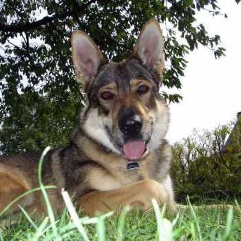 German Shepherd Wolf Mix For Sale