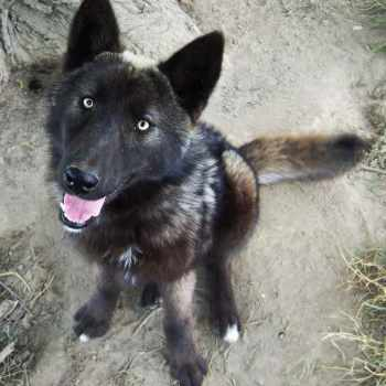 German Shepherd Wolf Mix