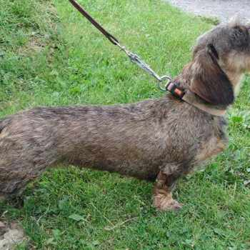 German Wirehaired Dachshund Puppies For Sale