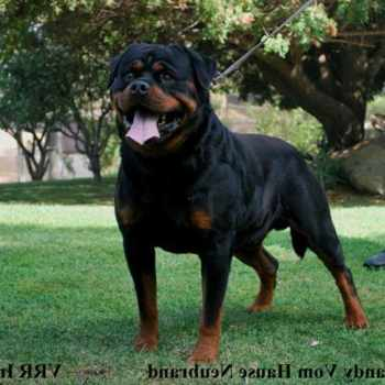 Giant German Rottweiler Puppies For Sale