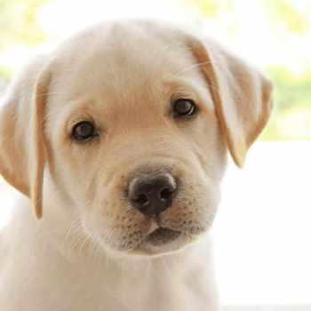 Girl Labrador Puppies