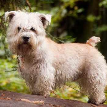 Glen Of Amal Terrier