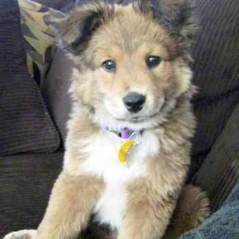 Golden Husky Puppies