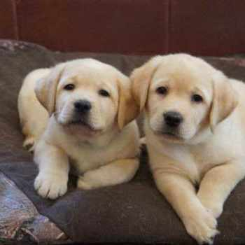Golden Labrador Puppies For Sale Near Me