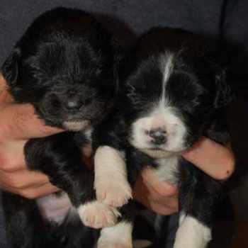 Golden Retriever Collie Mix Puppies For Sale