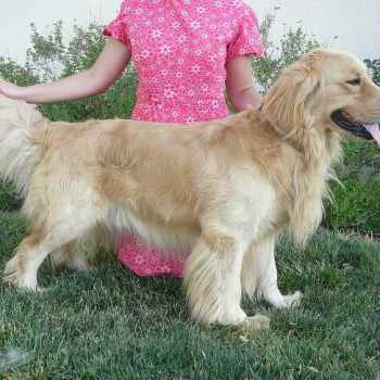 Golden Retriever Dachshund Mix For Sale