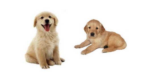 Golden Retriever Dog Breeders