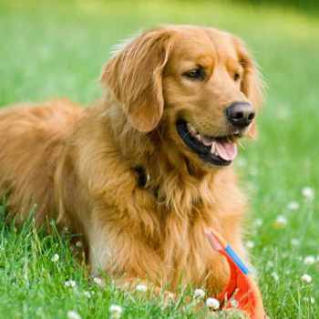 Golden Retriever Info