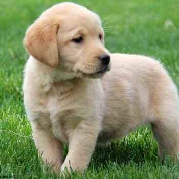 Golden Retriever Lab Mix Puppies For Adoption