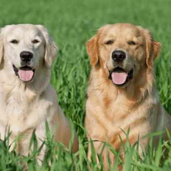 Golden Retriever Lab Mix Puppies For Sale In Michigan