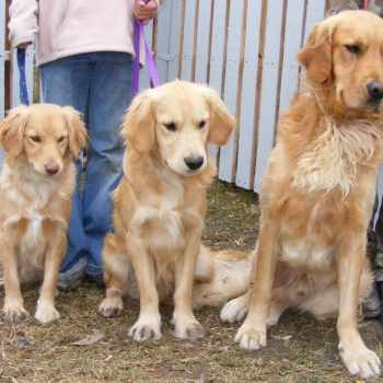 Golden Retriever Mini