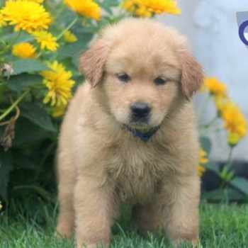 Golden Retriever Mix For Sale