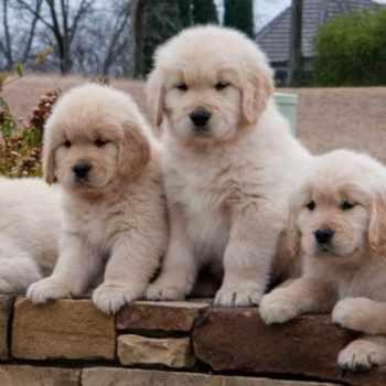 Golden Retriever Puppies Austin