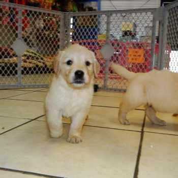 Golden Retriever Puppies Charleston Sc