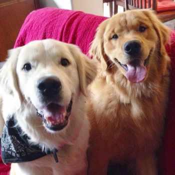 Golden Retriever Puppies Chicagoland