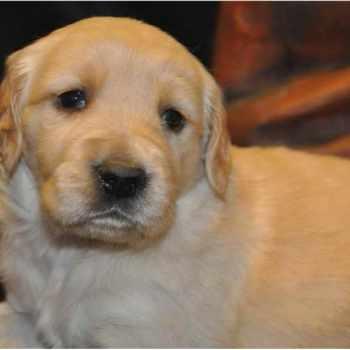 Golden Retriever Puppies Des Moines Iowa
