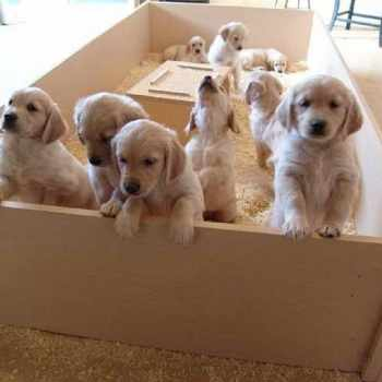 Golden Retriever Puppies For Sale Colorado Springs