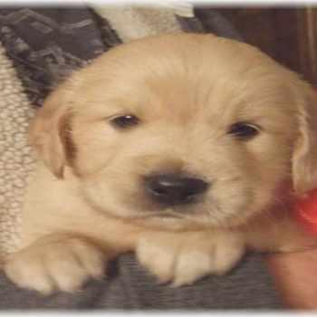 Golden Retriever Puppies For Sale In Alabama