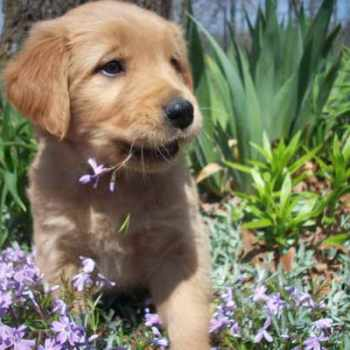 Golden Retriever Puppies For Sale In Missouri