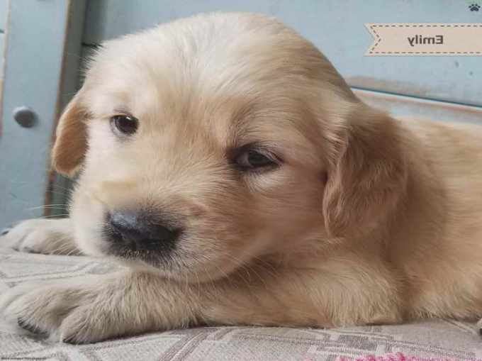 Golden Retriever Puppies For Sale In Pa Under 300
