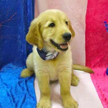 Golden Retriever Puppies For Sale In South Florida