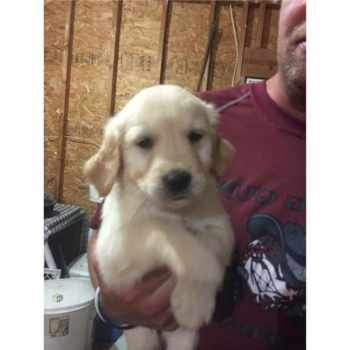Golden Retriever Puppies For Sale In Southern Illinois