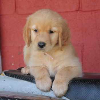 Golden Retriever Puppies For Sale Ky