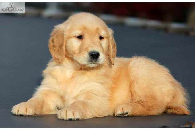 Golden Retriever Puppies For Sale Nh