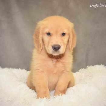 Golden Retriever Puppies Fort Myers