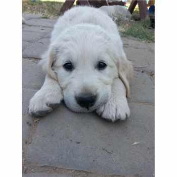 Golden Retriever Puppies Fresno Ca