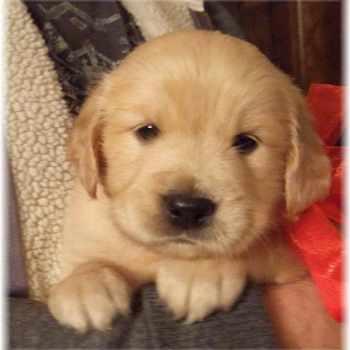 Golden Retriever Puppies Georgia