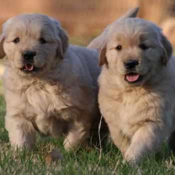 Golden Retriever Puppies In Arizona