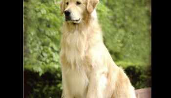 Golden Retriever Puppies Green Bay Wi | Pets and Dogs