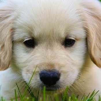 Golden Retriever Puppies Massachusetts