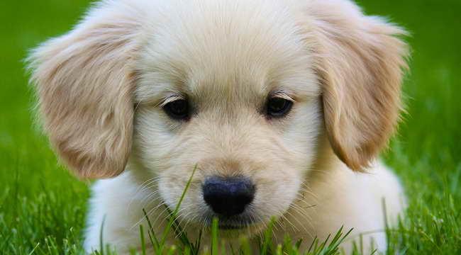 Golden Retriever Puppies Massachusetts
