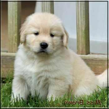Golden Retriever Puppies Memphis Tn