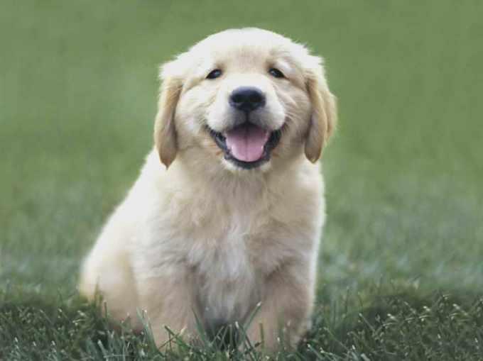 Golden Retriever Puppies Mi