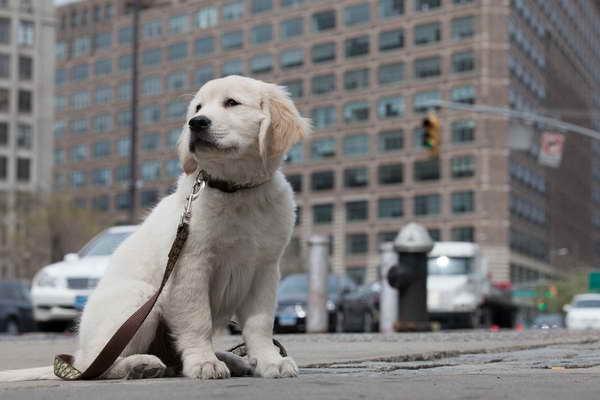 Golden Retriever Puppies New York