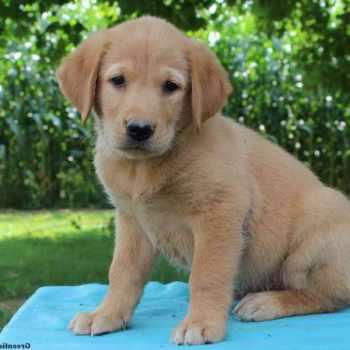 Golden Retriever Puppies Nj For Sale