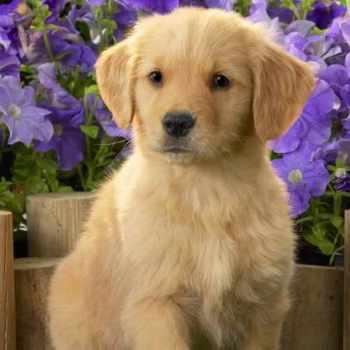 Golden Retriever Puppies Ohio