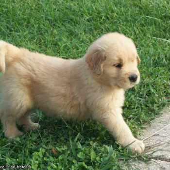 Golden Retriever Puppies Omaha
