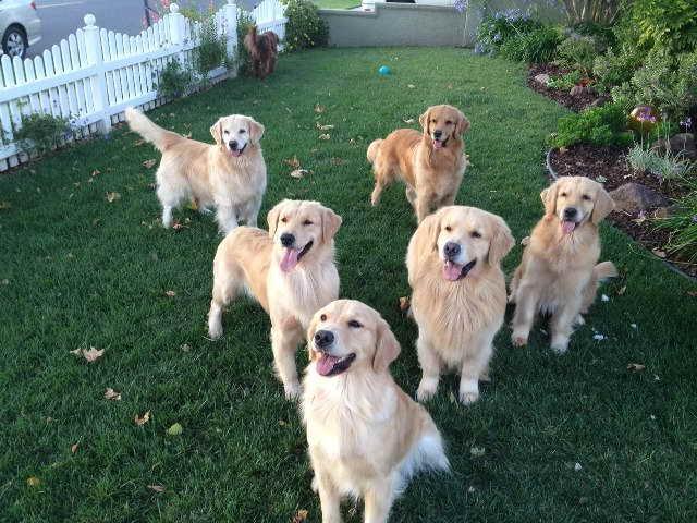 Golden Retriever Puppies Orange County Ca