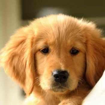 Golden Retriever Puppies Quad Cities