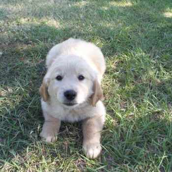 Golden Retriever Puppies Redding Ca