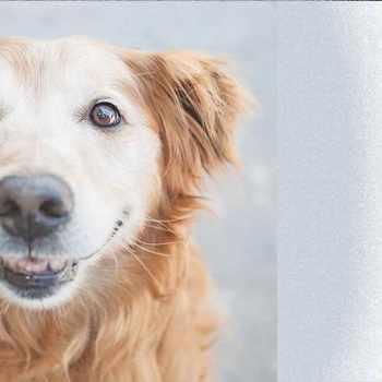 Golden Retriever Puppies Rescue Illinois