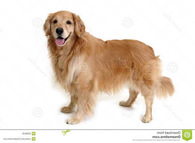 Golden Retriever Puppies Richmond Va
