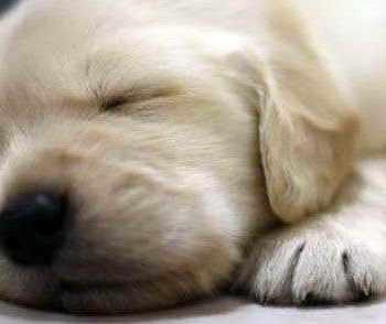 Golden Retriever Puppies Sacramento