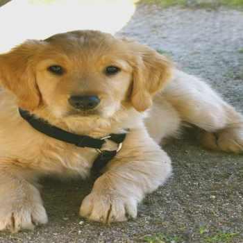 Golden Retriever Puppies San Diego