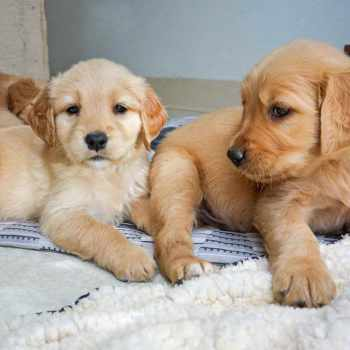 Golden Retriever Puppies San Francisco